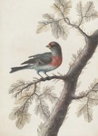 A bird, probably a bullfinch, on a pine branch