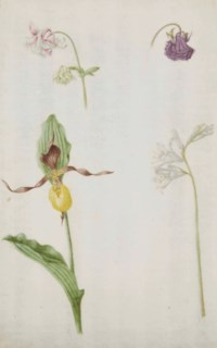 Un lys, un bouton-d'or de Perse et autres fleurs