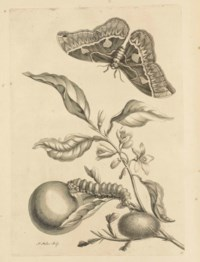 MARIA SIBYLLA MERIAN (1647-1717)