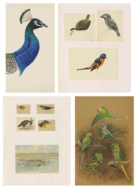 Two albums of field studies, many in Ceylon, the majority of birds including: I) peacock; gulls; owl; chucker, bittern snipe and II) parrots, pygmy cormorant, swallow, India roller, peacock crow, laughing thrush, owls
