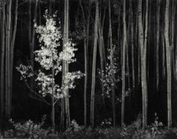 Aspens, Northern New Mexico, 1958